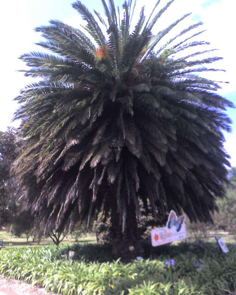 Palma Fenix (2)